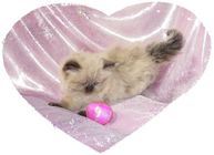 Seal Point Toy Himalayan Kitten, Doll Face himalayan, Himalayan kittens for sale, Himalayan kittens