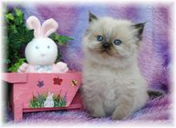 Seal Point Toy Himalayan Kitten, dollface himalayans, himalayan kittens, Himalayan kittens for sale