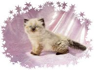 Seal Point Toy Himalayan Kitten, doll-face himalayans, himalayan kittens for sale, Himalayan kittens