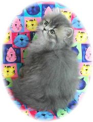 Blue Tabby Persian Kitten