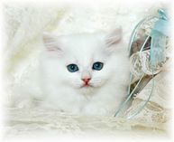 Blue eyed white kitten, ragamuffin kittens