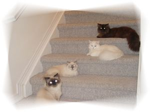 Persian kittens, Persian cats, Persian cat breeders