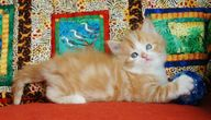 Red and white bi color, ragdoll kitten