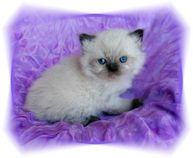 Chocolate Point Himalayan Kitten, Doll Face himalayans, Himalayan kittens for sale, Himalayan kittens
