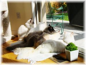 Persian cats, Himalayan cats, Persian kittens for sale, Persian cats for sale