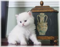 Copper eyed white rag a per kitten, ragamuffin kitten