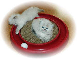 Himalayan kittens for sale, Himalayan cats for sale, Himalayan kittens
