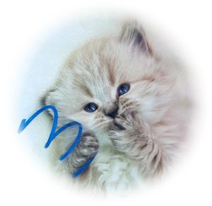 Himalayan kittens, Himalayan kittens for sale, Himalayan cats for sale, Himalayan cat breeders