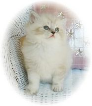 Blue Lynx Bi Color Point Rag A Per Kitten, ragamuffin kittens