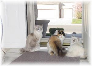 Ragdoll Cats, Persian Cats, Himalayan Cats, Cat breeders