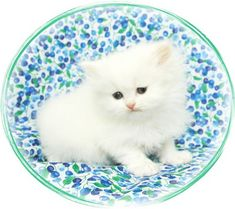Blue Eyed White Persian Kitten