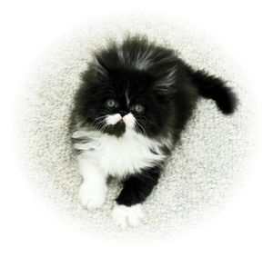 Persian kittens, Doll Face Persians, Persian kittens for sale, Persian cats for sale