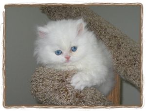 blue eyed white persians, Persian kittens, Doll face persians