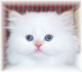 Flame Point Himalayan Kitten, doll face himalayans, Himalayan kittens for sale, Himalayan kittens