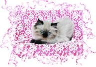 Seal Point Tea Cup Kitten, doll-face himalayans, Himalayan kittens for sale, Himalayan kittens