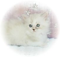 Champagne and Mink Parti Color with White Rag A Per, Ragamuffin kittens