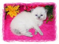 Blue Point Tea Cup Himalayan Kitten, doll face himalayans, Himalayan kittens for sale, Himalayan kittens