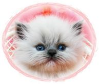 Blue Lynx Point Tea Cup Himalayan Kitten, dollface himalayans, Himalayan kittens for sale, Himalayan kittens