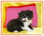 black and white bi color persian kitten Doll Face