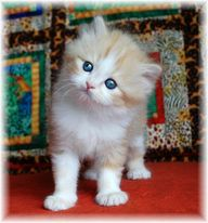 Kittens for sale, ragdoll kittens