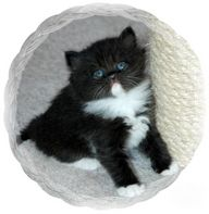 black and white bicolor ragamuffin kitten