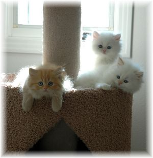 kittens for sale, Persian kittens for sale, Persian kittens