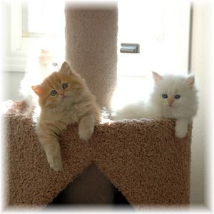 Persian kittens, Himalayan kittens, Doll face persians