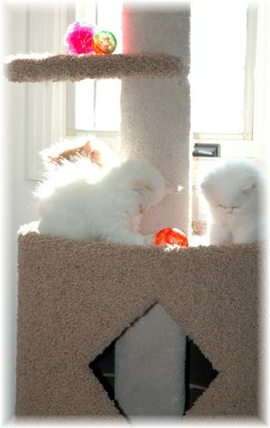 Persian kittens, Doll Face persians, Doll face himalayans