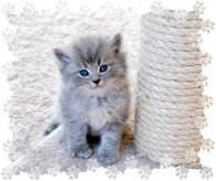 blue tabby kitten, ragamuffin kittens
