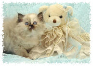 Seal Tortie Point Himalayan Kitten, dollface himalayans, himalayan kittens for sale, Himalayan kittens