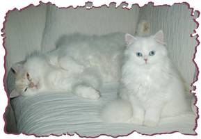 Persian kittens, Ragamuffin kittens, Persian kittens for sale