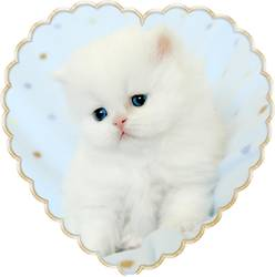 Blue Eyed White Persians, Doll Face Persian Kitten, White Persians with blue eyes, Cashmere white persian kittens