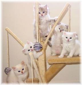 Ragamuffin kittens for sale, Ragamuffin kittens, Ragdoll kittens, Ragdoll kittens for sale