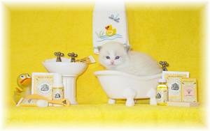 Doll Face Persians, Doll Face Himalayans, Persians kittens for sale, Himalayan kittens for sale