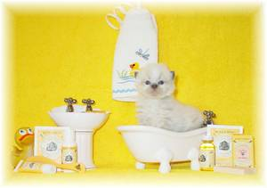 Himalayan kittens for sale, Persian Kittens for sale, Persian cat breeder, Himalayan cat breeder