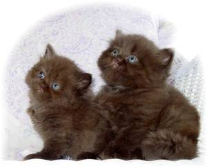 Persian kittens, Chocolate Persians, Persian kittens for sale, Teddy Bear Persians