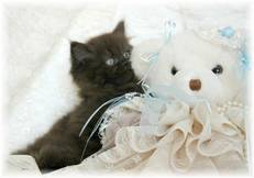 Chocolate Toy Persian Kitten, Persian kittens for sale