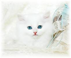 Blue Eyed White Kitten, Cashmere white kittens, white kittens with blue eyes