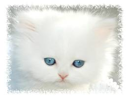Blue Eyed White Persian Kitten, White dollface Persian, White Kitten with blue eyes, Cashmere white Persian