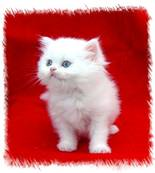 Blue Eyed White Persian Kitten, Persian kittens for sale