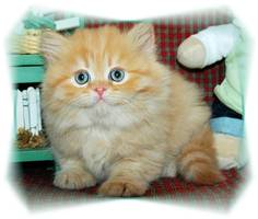 Red Tabby Dollface Persian Kittens