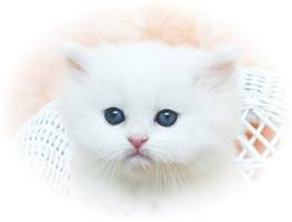 Blue Eyed White Persian Kitten, White Kittens with blue eyes, Dollface white Persian, Cashmere white persian kittens