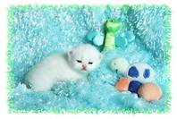 White Persian kittens for sale