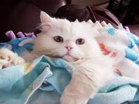 Copper Eyed White Persian, Persian kittens for sale