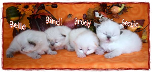 Shop Himalayan Kittens for Sale from Boutique Kittens