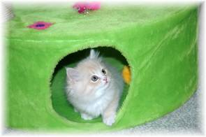 Ragamuffin cats for sale, Ragamuffin kittens, Ragamuffins