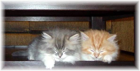 Ragamuffin kittens for sale, Ragamuffin kittens, Ragamuffin cats for sale