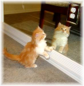 Ragamuffin kittens for sale, Ragamuffin cats for sale, Ragdoll kittens