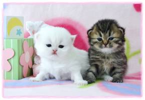 White Dollface Persians, Cashmere white Persians