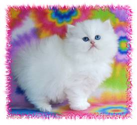Blue Eyed White Persian, Doll Face Persian kitten, white kittens with blue eyes, Cashmere white persians